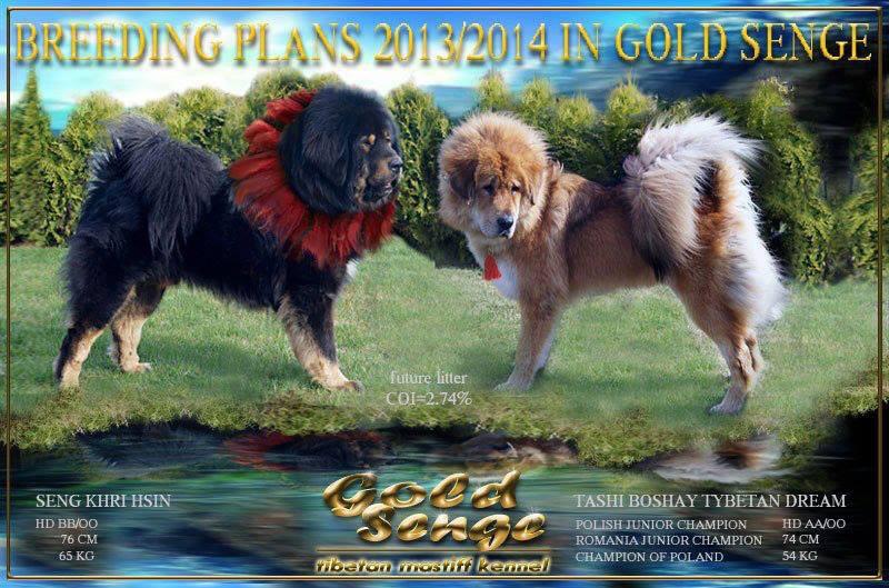 breeding_goldsenge