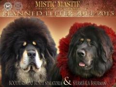breeding_misticmastif